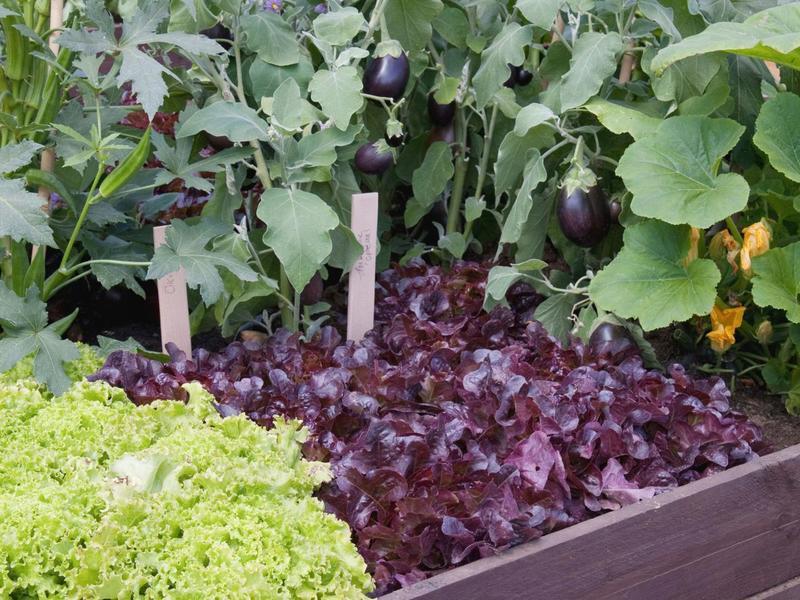Добрые соседи: какие овощи можно совмещать в теплице