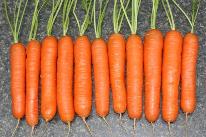 Морковь Тушон — отличный универсальный сорт для средней полосы