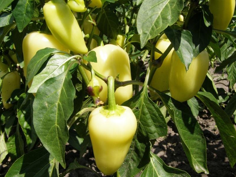Перец Белозёрка: неплохой сорт для товарного производства