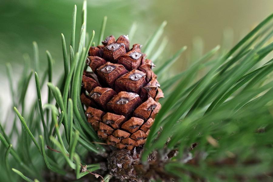 можно ли из шишки ели вырастить дерево