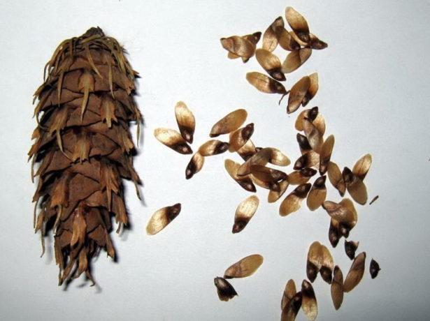Шишка и семена ели