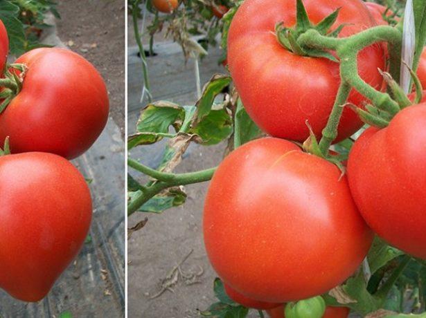 Плоды томата Большая мамочка