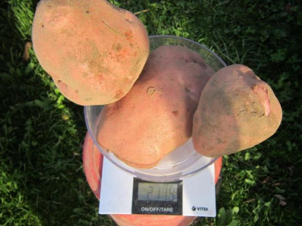 Клубни картофеля Ирбитский
