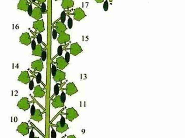 Схема формирования куста огурца в один стебель