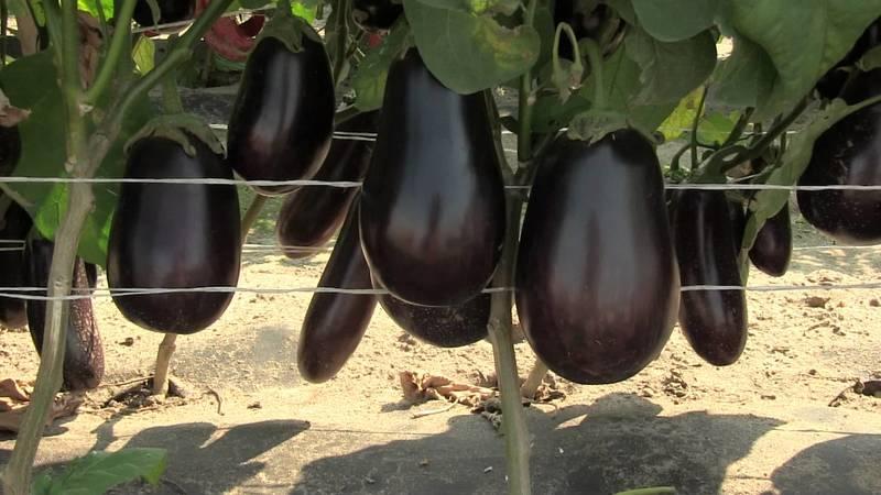 Баклажан Марципан F1: достоинства, недостатки сорта и нюансы выращивания