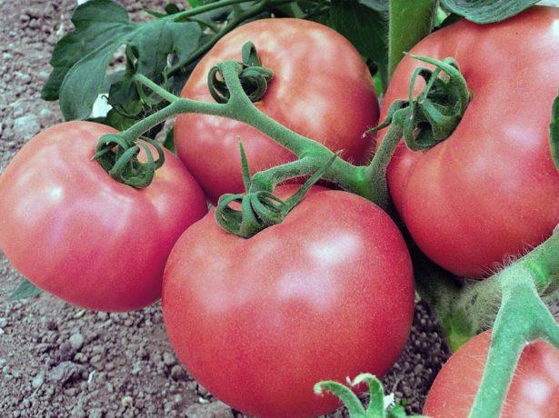 Плоды томата Розовый сувенир