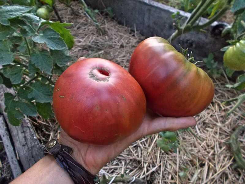 Сорт томатов Микадо чёрный: описание и важные нюансы ухода