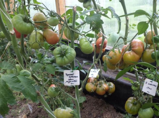 Кусты томата Чёрный ананас с плодами