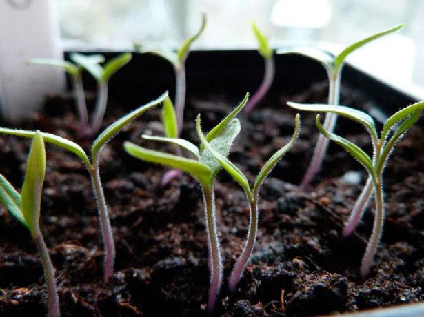 Молодые ростки помидоров