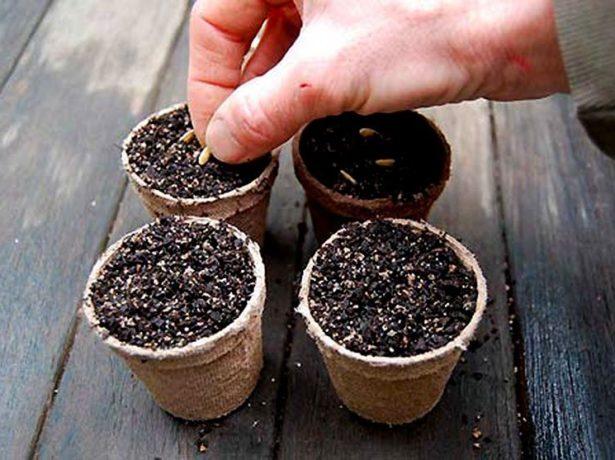Посев в торфяные стаканчики