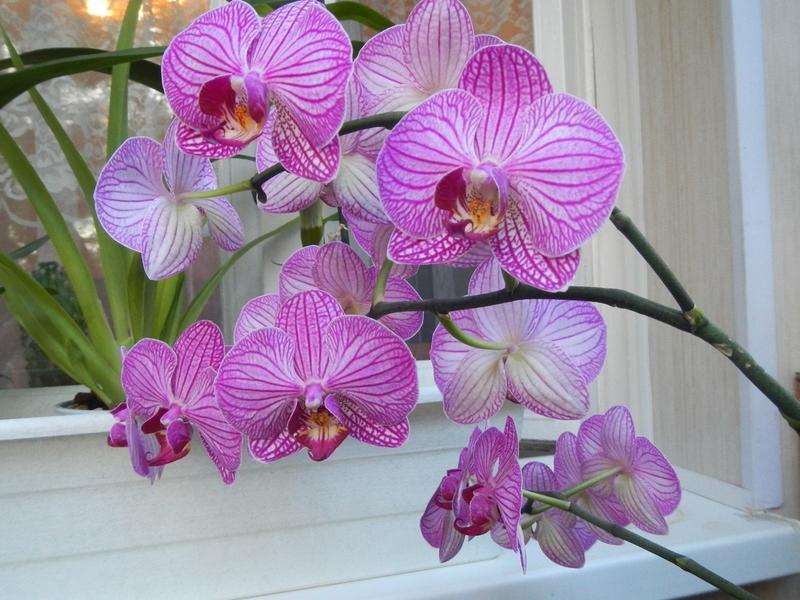 Сколько живут разные орхидеи в домашних условиях и как продлить срок их жизни