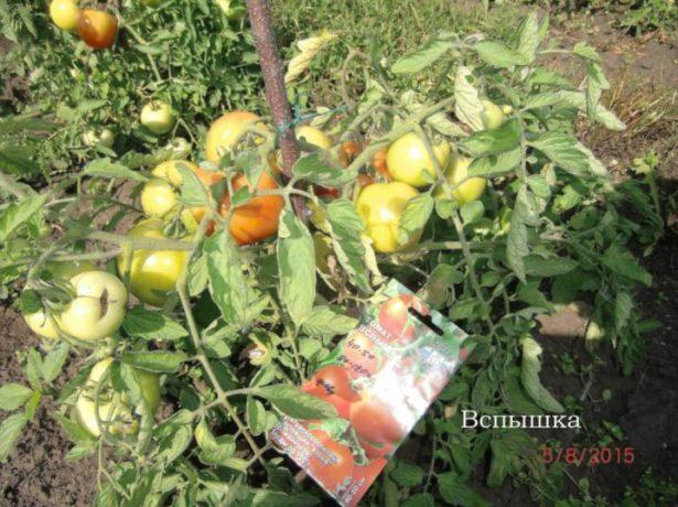 Куст томатов Вспышка