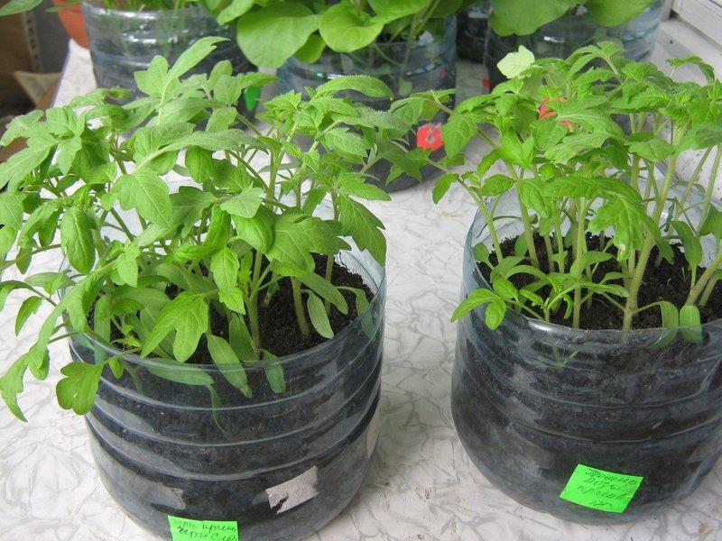 Как вырастить рассаду помидоров в пятилитровой бутылке без пикировки