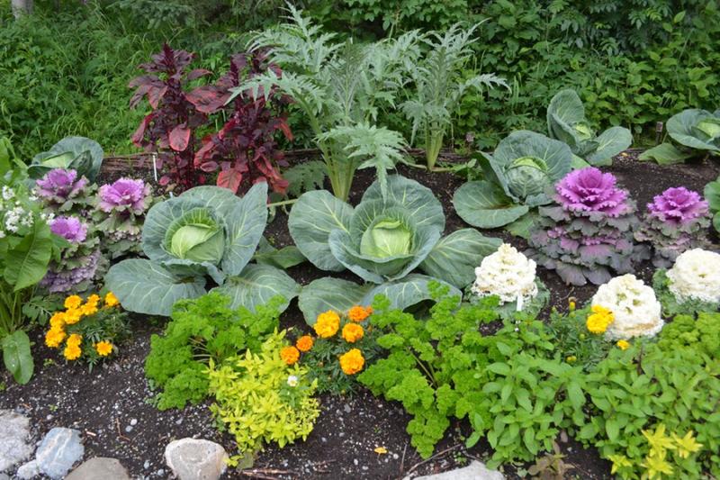 Совместные посадки овощей на грядке: общие принципы и проверенные практикой примеры