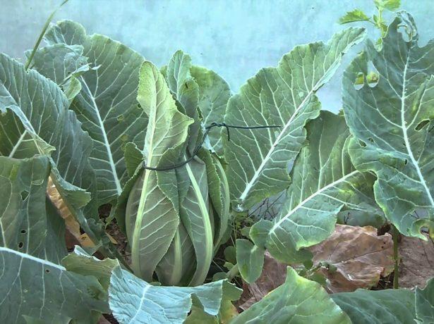 Отбеливание головок цветной капусты