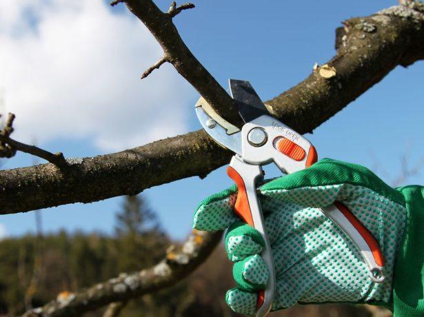 Обрезка дерева зимой