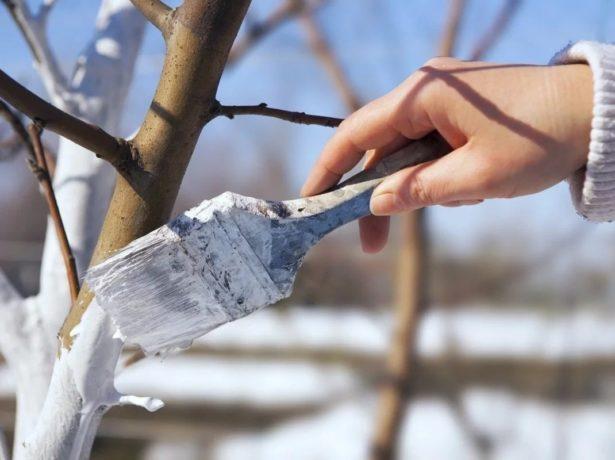 Побелка дерева зимой