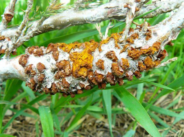 Ржавчинный гриб