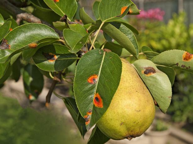 Ветка груши с плодом