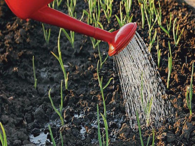Как поливать чеснок – весной, летом и перед сбором урожая
