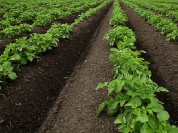 Выращивание картофеля на гребнях