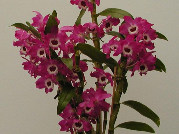 орхидея Dendrobium