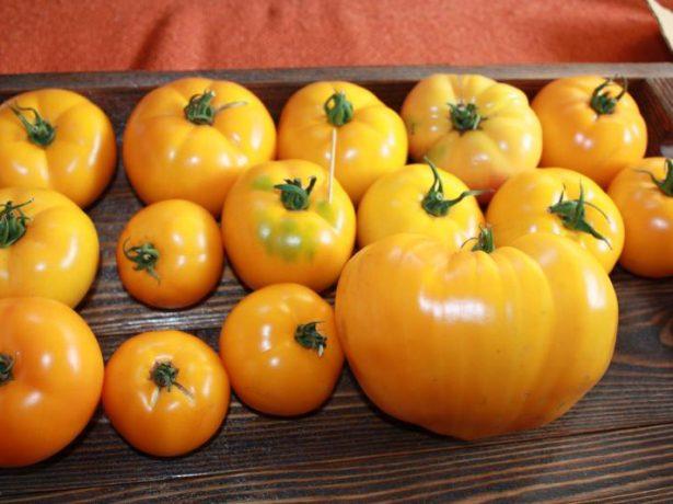 Плоды томата Оранжевый слон