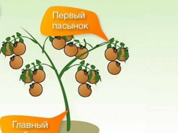 Формировка куста томата в 2 стебля