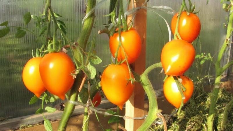 Подборка томатов с жёлтыми плодами: популярные, ранние, урожайные