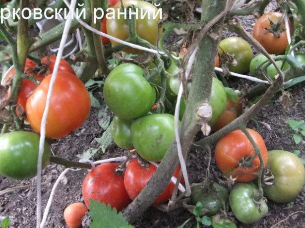 Куст томата Бурковский ранний