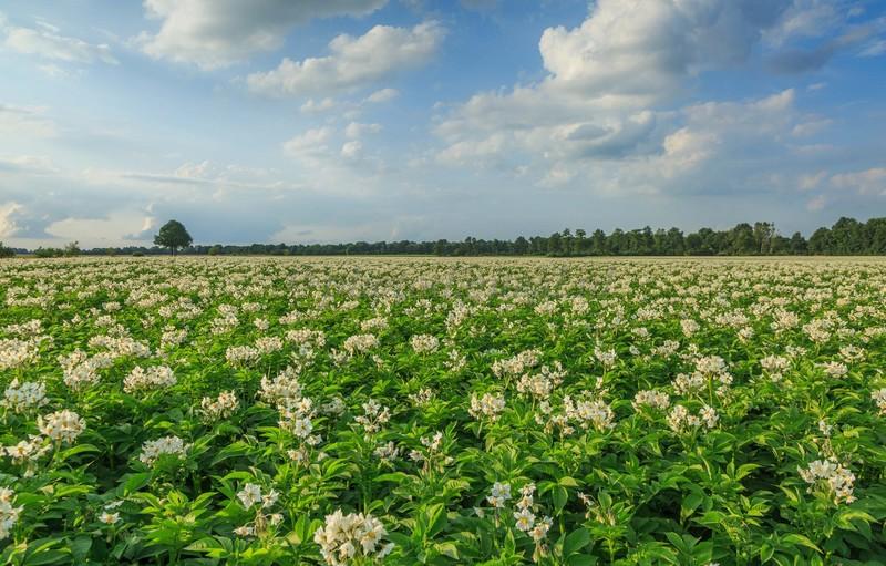 Выращиваем картофель по-голландски правильно: суть метода, схемы посадки и уход