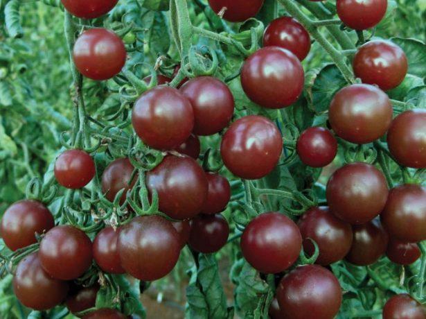 Плоды томата Вишенка чёрная