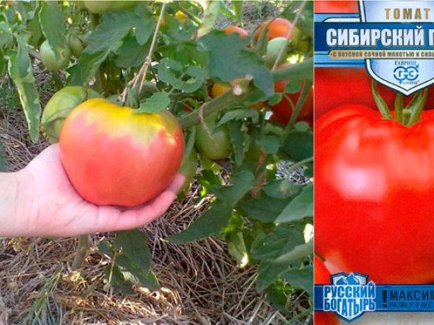 Семена и плод томата Сибирский гигант