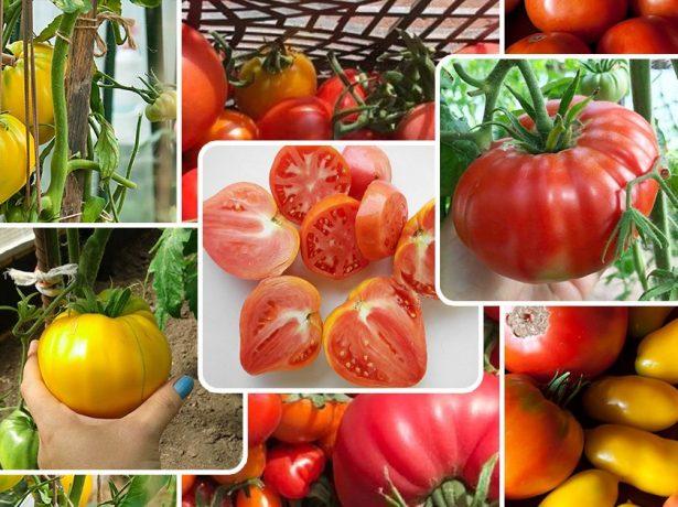 Радуга томатов