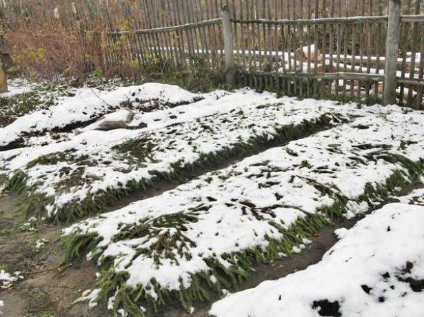Укрытие клубники на зиму