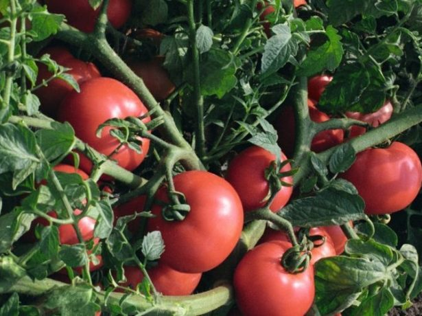 Плоды томата Султан на кусте