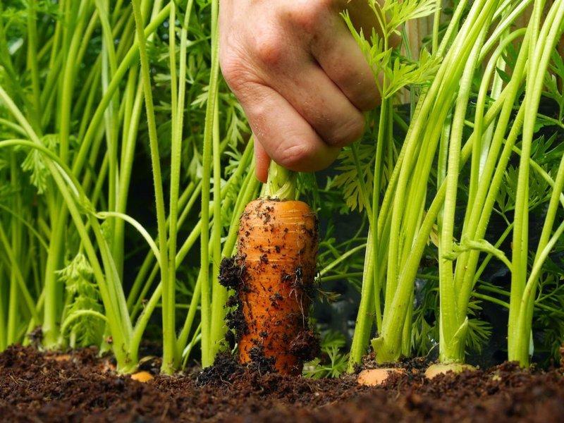 Что посадить после моркови в следующем году для хорошего урожая