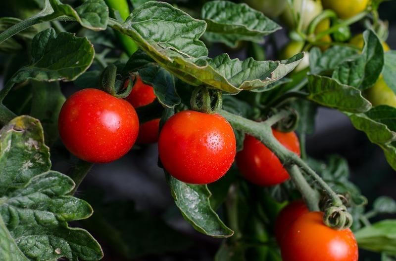 Что посадить после томатов на следующий год, чтобы не прогадать