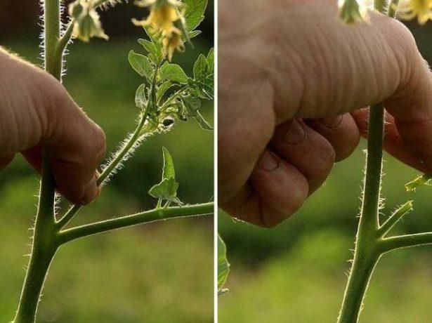 Коллаж: пасынкование томата