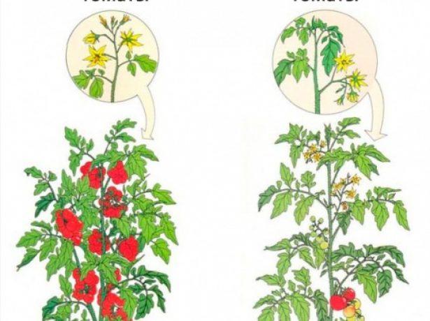 Схема отличия детерминантных томатов от индетерминантных