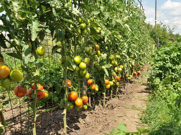 Кусты томатов на шпалере