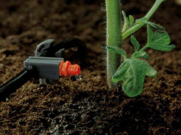 Капельный полив томата
