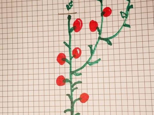 Схема ступенчатой формировки томатов