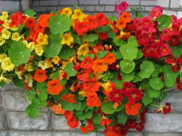 Пышное цветение настурции