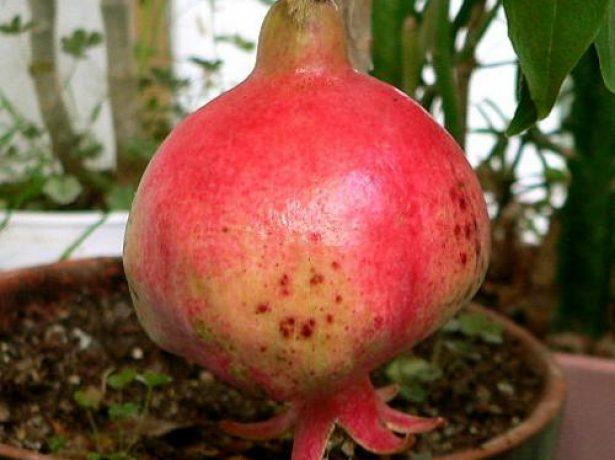 Плод комнатного граната