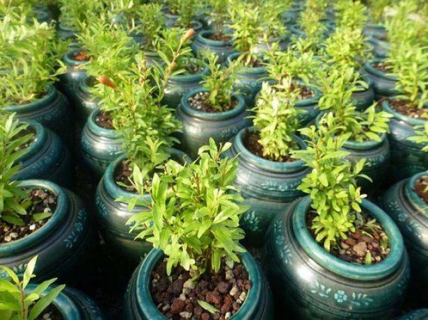 Молодые растения граната Бейби