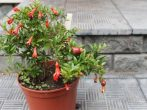 Бейби: выращивание комнатного граната