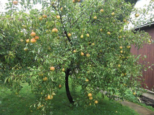 Дерево груши сорта Белорусская поздняя