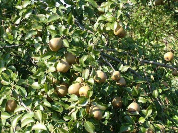 Груши Белорусская поздняя на дереве