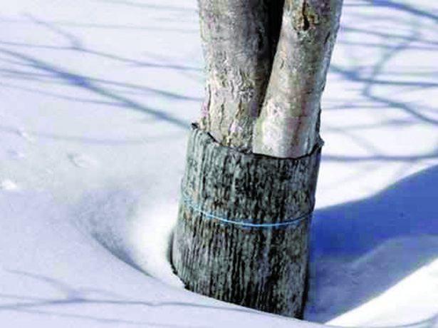 Груша зимой